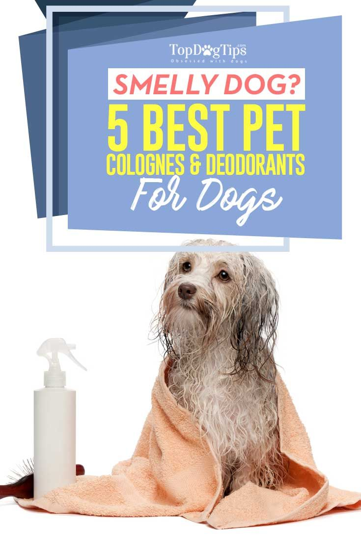 Best Dog Cologne & Deodorant for Dogs: Top 5 Great Options for 2016. Did you know that pet fragrances can assist our dogs, too? Finding the best dog cologne or deodorant for dogs, as it's called, isn't always easy because some of those pet perfumes may not work well for your Fido. #dogs #cologne #deodorant #spray #smell #grooming #groomer #pets #animals #top #best