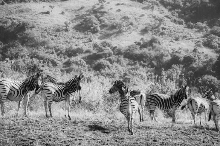 Wildlife Photographers Dream at Karkloof Safari Spa, South Africa. Zebra, Giraffe, Rhino, Buffalo, Hippo, Exquisite Birdlife. www.karkloofsafarispa.com