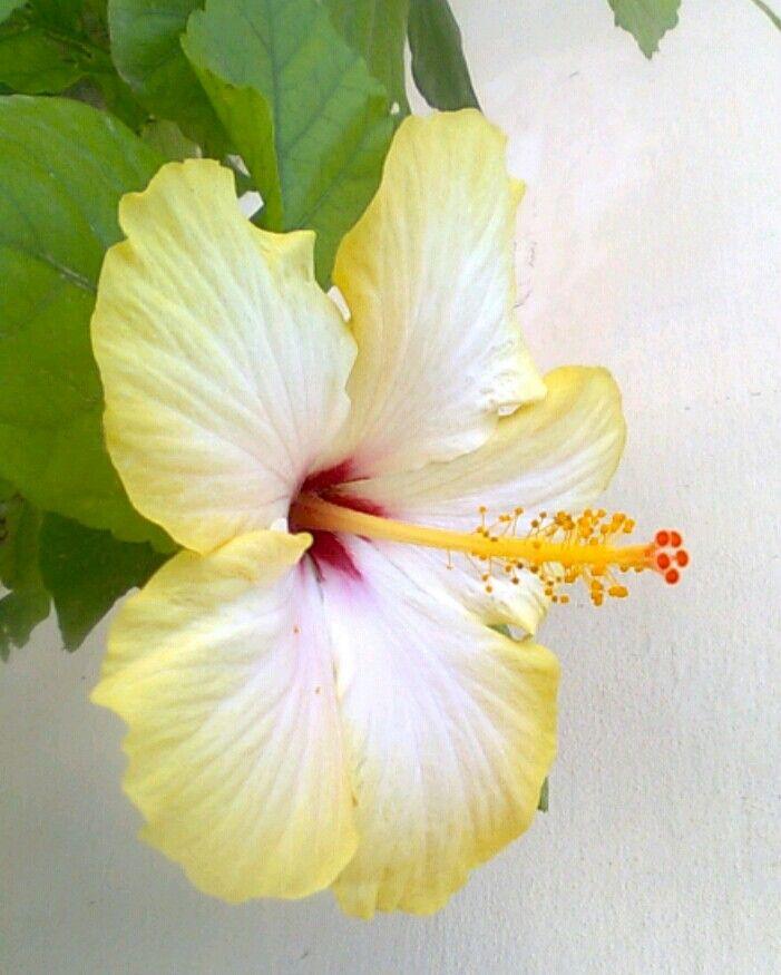 My new Yellow Hibiscus -  June 2014
