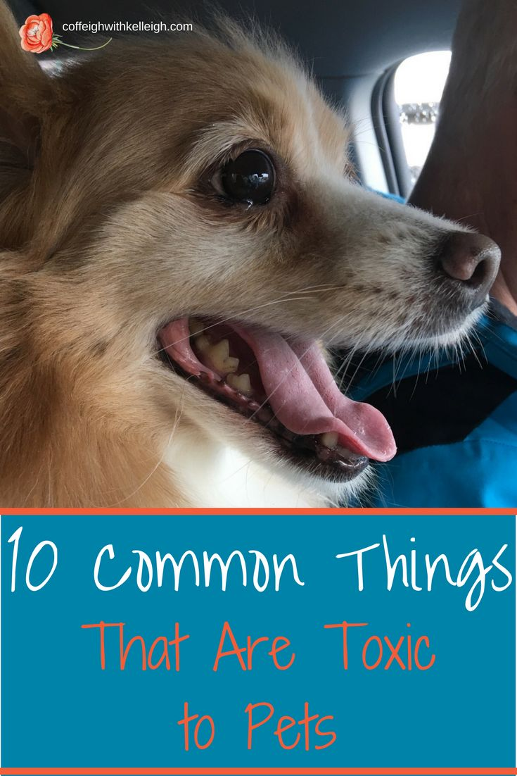 So many things are toxic to pets including grapes, apple seeds, chocolate, coffee, raisins, garlic, onions, avocados, Xylitol, lilies, tulips, Dieffenbachia, azaleas, sago palms, and aloe vera.  Wow, that's a long list!