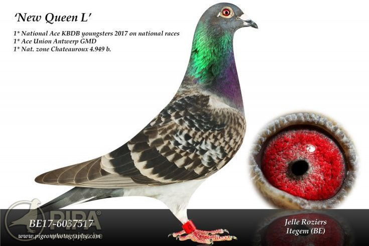 After winning 2 top 10 ace pigeon titles in 2016 Roziers-Xiang (Itegem, BE) now claim 5 top 20 prizes including a 1st Nat. Ace Pigeon Longer Middle Distance YBs | PIPA