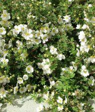 Pensashanhikki kukkii kesästä pitkälle syksyyn saakka. tässä valkokukkainen Pensashanhikki 'Abbotswood´. Aurinkoisella paikalla pensas peittyy kukkiin, mutta kukkii myös varjossa