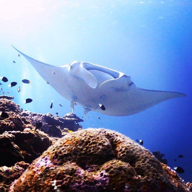 【knc_nshr】さんのInstagramをピンしています。 《- extremely large wings - #マンタ #オニイトマキエイ #マンタシティ #海 #石垣 #沖縄 #沖縄ダイビング #スキューバダイビング #スキューバ - #manta #mantaray #mantacity #mantapoint #ocean #ishigaki #ishigakiisland #okinawa #scubadiving #scuba》