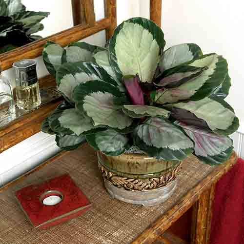 56 Best Calathea Images On Pinterest Garden Beautiful