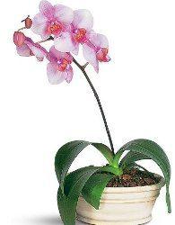 Flowering House Plants indoor flowering plants. hindu rope plants great houseplants for