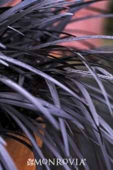 Black Mondo Grass offers striking, nearly black foliage that is impressive in container gardens or as a groundcover. Plant with lime green and orange shades for Halloween & Thanksgiving! Flowers are dark lavender and followed by purple berries that appear in fall.