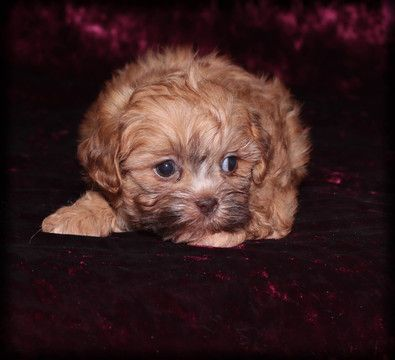 Zuchon puppy for sale in WAYLAND, IA. ADN-59160 on PuppyFinder.com Gender: Female. Age: 8 Weeks Old