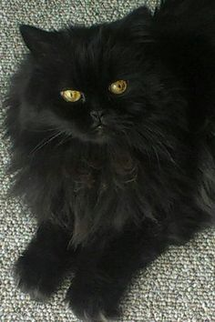 Kitty, Cats and Persian on Pinterest