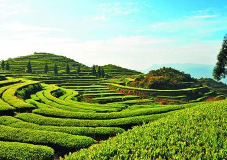 West Lake Longjing Tea, Junshan silver needle, Wuyi rock tea, these world known teas are raised in places that clean and beautiful.