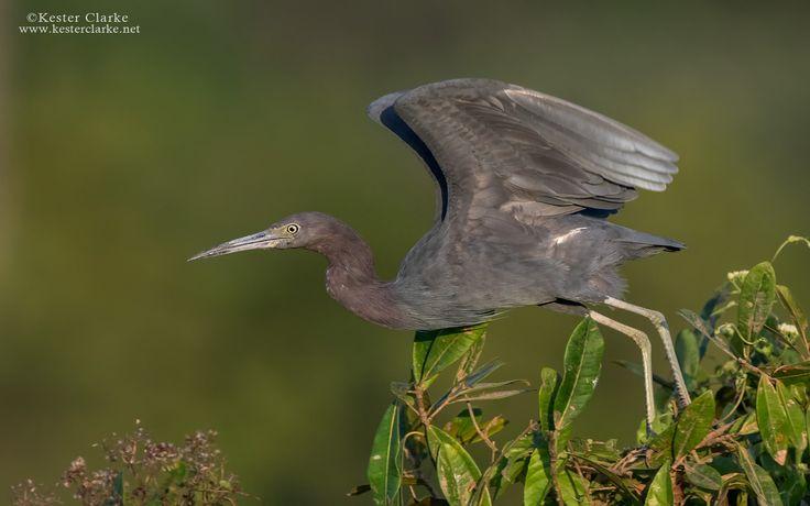 Little Blue Heron | Linden Guyana (... 736