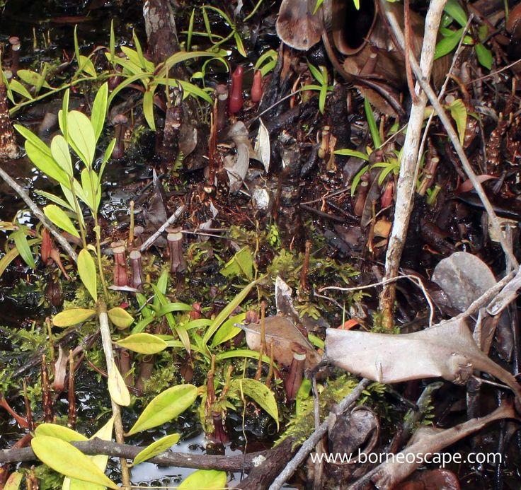 Nepenthes habitat | BorneoScape
