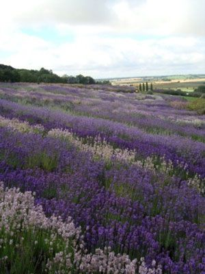 Yorkshire Lavender Farm, North Yorkshire