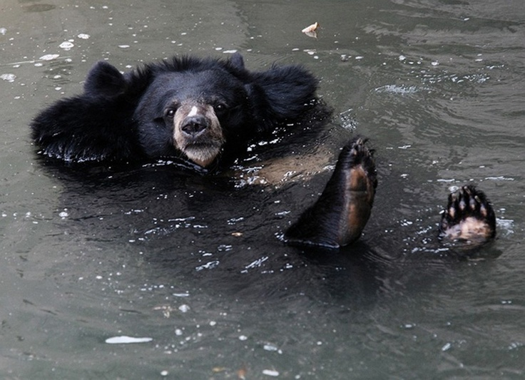 Image result for himalayan black bear