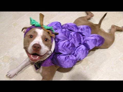Pitbull Dogs And Puppies - A Funny Videos And Cute Videos Compilation || NEW HD - YouTube