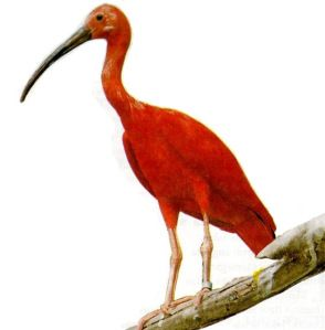 Scarlet ibis bird information, Scarlet ibis bird breeding