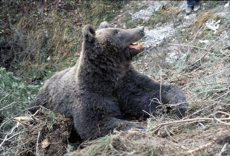 Orso bruno (Foto di F.Osti), una foto di archivio di uno dei primi animali catturati e radiocollarati in Europa.