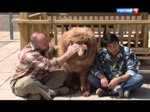 Планета собак   Тибетский мастиф