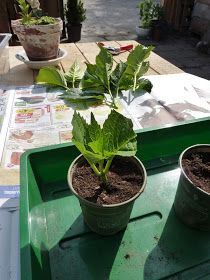 Jaren geleden hebben wij in onze tuin, aan weerszijden van een deurtje, eens twee mooie roze hortensia's gepoot.   Ze groeiden prima en...