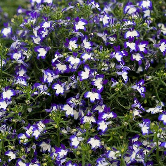 A true-blue annual for your garden, Superstar lobelia is just that--a superstar! See more of our favorite annuals: http://www.bhg.com/gardening/gardening-trends/editor-justin-w-hancock-new-plants/