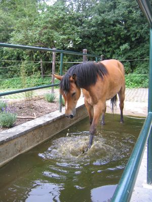 The horses are required to move through this water to get to their food. This practice ensures hoofs stay moist. It is not like the wet/dry conditions we put up with - that is lengthy periods in mud and lengthy periods in dry, rock hard pastures.