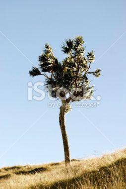Lone Cabbage Tree (Cordyline Australis), New Zealand Royalty Free Stock Photo