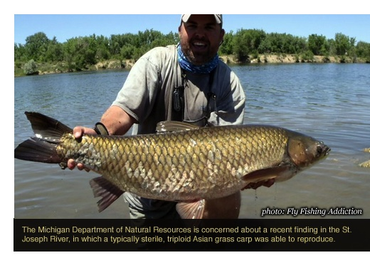 12 curated grass carp ideas by toflyfish memorial for Grass carp fish