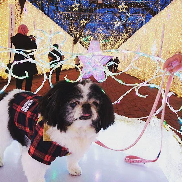 昨日がかぶの月命日🐶👼🌈だから、数少ない写真の中からどれにしようか昨日から迷って迷って過ぎちゃった💦💦 この時期だから、綺麗なイルミネーション✨をバックにビビって固まってる真顔のかぶの📷 最初で最後の#イルミネーション✨ は、かぶにとってはまぶしすぎて嬉しくなかったかも💦  #かぶ #狆 #犬 #愛犬 #japanesechin #dog  #時之栖  #綺麗 #美しい #夜 #20170320  #昨年度のイルミネーション✨ #狆とイルミネーション✨  #20170405🐶👼🌈 たまにかぶの写真を投稿すると母や子供達はもちろん、亡き弟、亡き父も喜んでくれている気がします✨