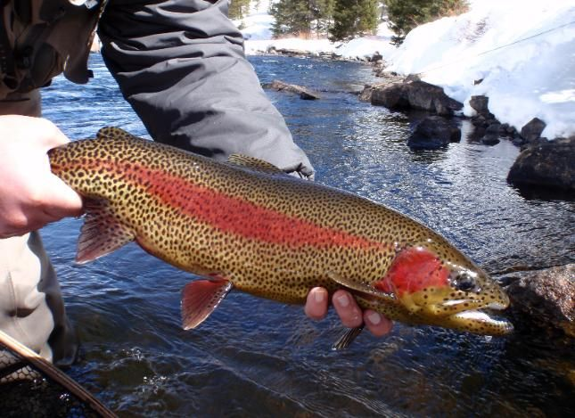 380 best images about rainbow trout on pinterest for Rainbow trout fishing