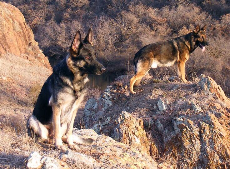 ジャーマン・シェパード・ドッグ  「シェパード」と略される事が多いが、同名の含まれる品種は多い。高い訓練性能から、災害救助や盲導犬として広く活躍する。我が国では、日本警察犬協会により耳に刺青で識別番号を振られている個体が多い。