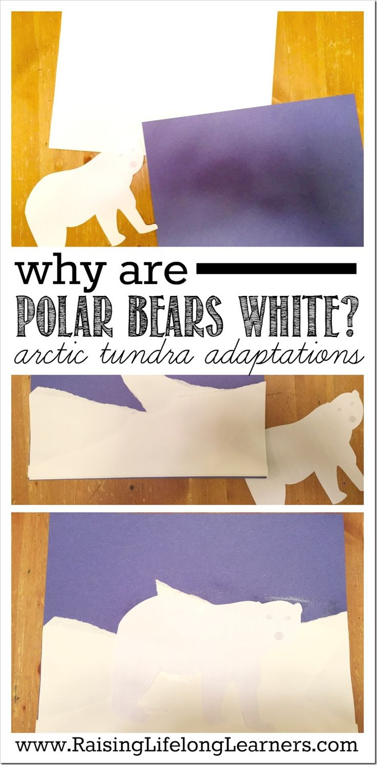 Why Are Polar Bears White   Animal Adaptations on the Arctic Tundra