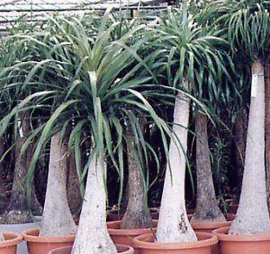 Agave americana L.        Agave americana L.   Clasificación científica  Reino: Plantae  División: Magnoliophyta  Clase: Liliopsida  Subclas...