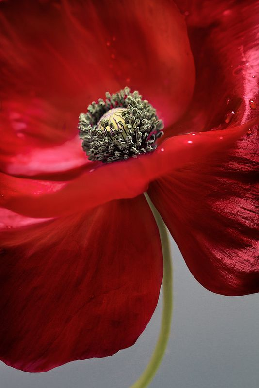 ~~Poppy ~ gorgeous red flower detail by Mandy Disher~~