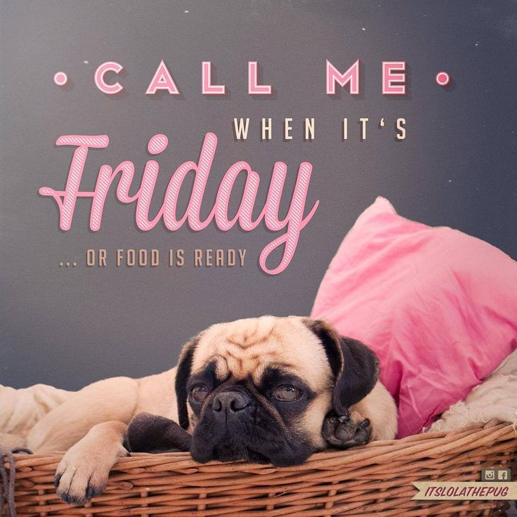 Cute pug loves Friday and food