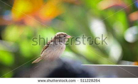 House Sparrow (female), Juvenile female House Sparrow, House Sparrow (Passer domesticus), Colorful blur background