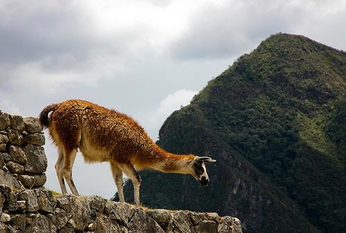 Peru #llama #Peru Nice!