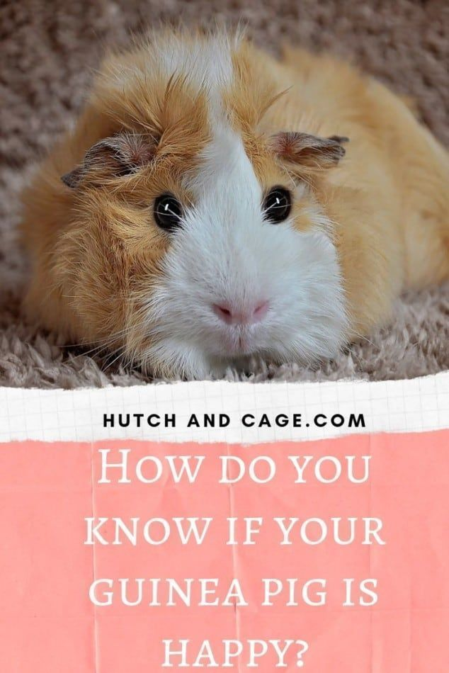 How To Get A Guinea Pig Used To You