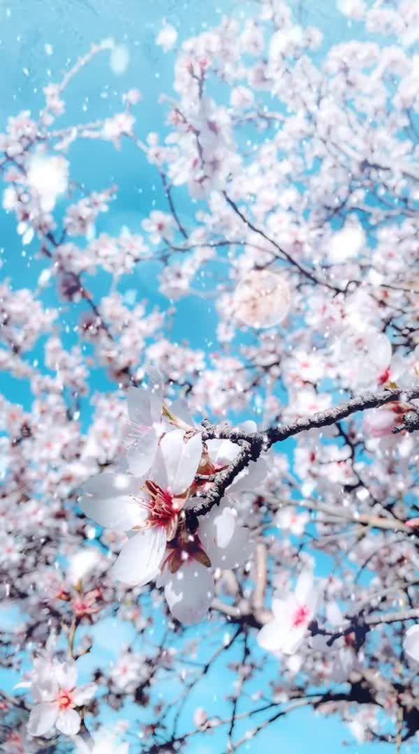 Landscape Flowers Aesthetic Dynamic Wallpaper Plants Cherry Blossom Season Lands Aesthetic Blosso Plant Wallpaper Cherry Blossom Wallpaper Flower Aesthetic Blue cherry blossom wallpaper