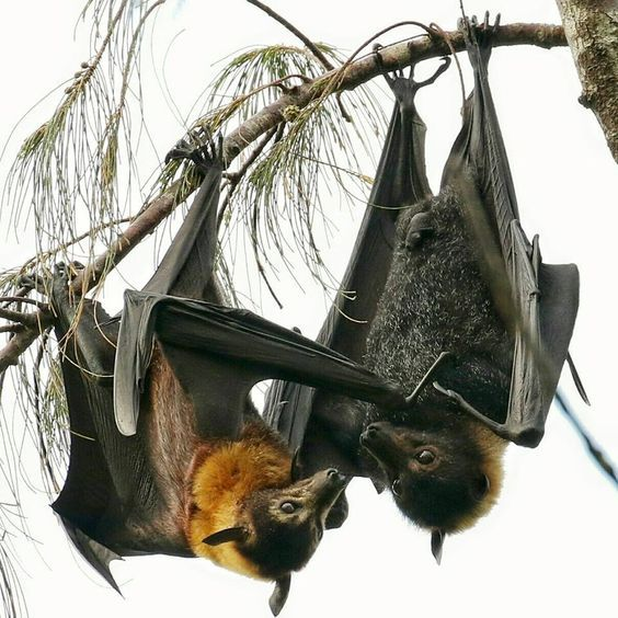 Flying Foxes from Australia Largest Bat!