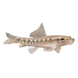 Chinese algae eater petsmart i am planing on for Black ghost knife fish for sale
