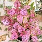 hipoestes rosa