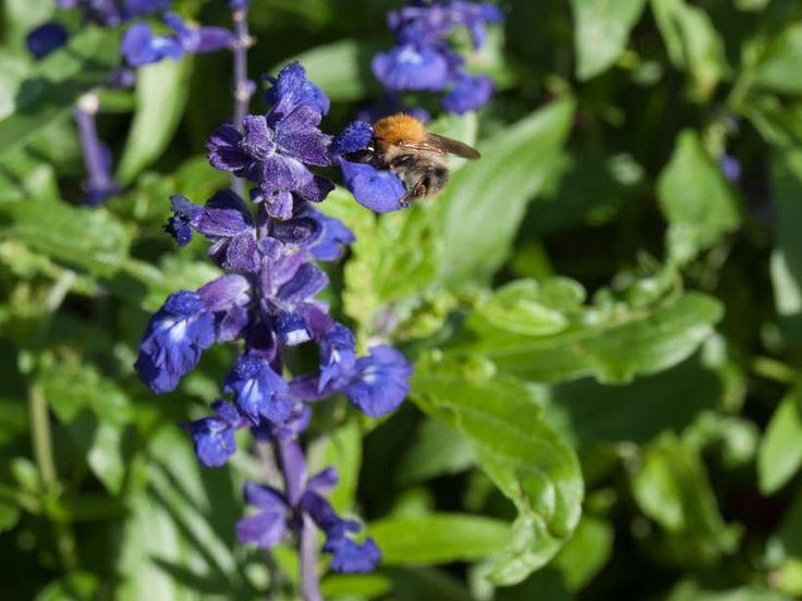 Disse plantene gir deg vakre krukker, og du bidrar til å hjelpe de viktige pollinatorene.