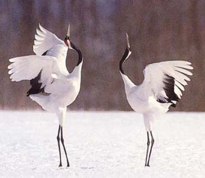 japanese crane pictures | ... -crowned cranes of Hokkaido—the last remaining population in Japan