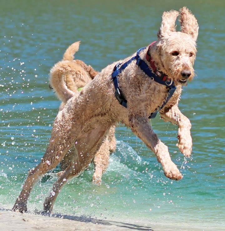 Adopt flsophia adopted on petfinder retriever puppy
