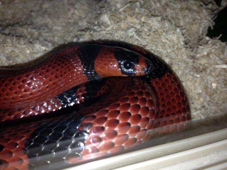 #snakes #reptile #milksnake