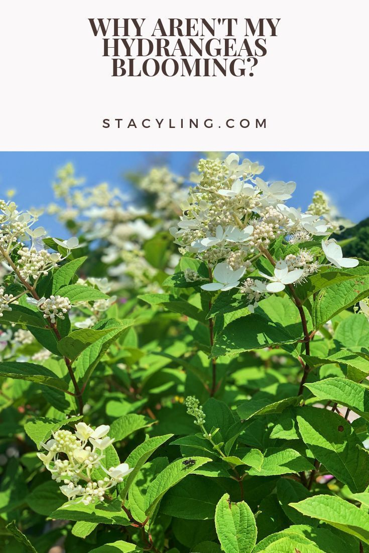 Why Aren T My Hydrangeas Blooming Stacy Ling In 2020 Garden Flowers Perennials Hydrangea Not Blooming Hydrangea Care