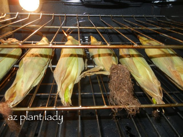 Nothing quite says summer like the taste of sweet corn and bbq.   I have enjoyed growing sweet corn for the past three summers and this year is no different.   Seeing how quickly the corn stalks begin to grow and later…. the first appearance of corn silk makes me start to crave fresh-roasted corn. It...