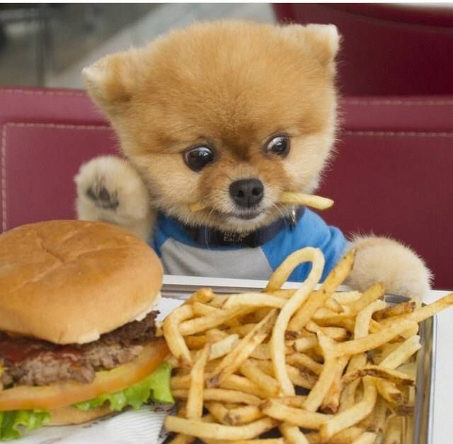 Jiffpom eating a fry