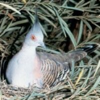 Crested Pigeon - Doesn't look like the pigeons I'm used to! Really cool with the pink eye circle.