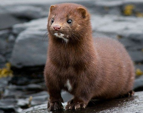 Animal cruelty? According to beauticians real mink eyelash extensions are made from fur brushed off live animals
