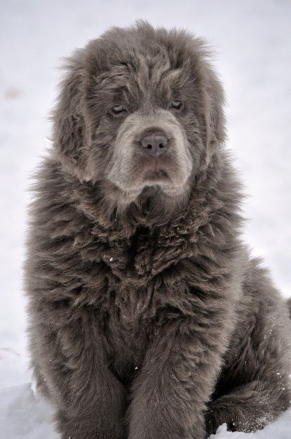 (via ALL DOGS ALL THE TIME!! / Platinum Newfoundland)